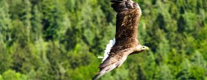 imperial-eagle-1436278_1280